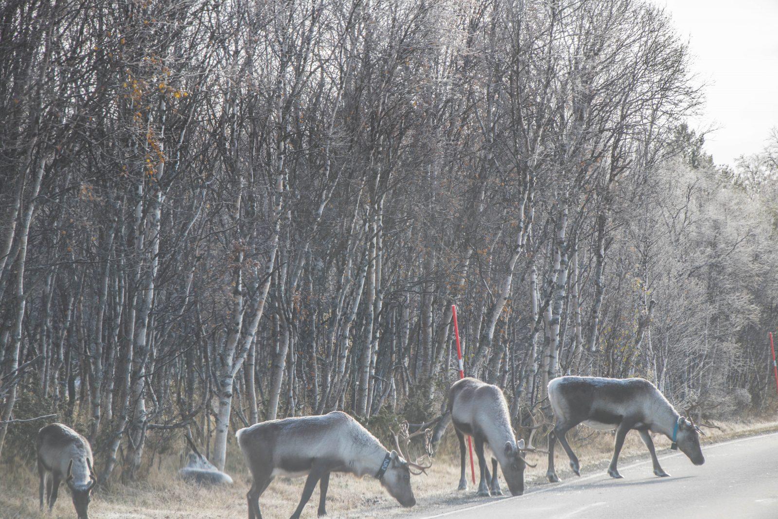 Roadtrip door Noorwegen: rendieren