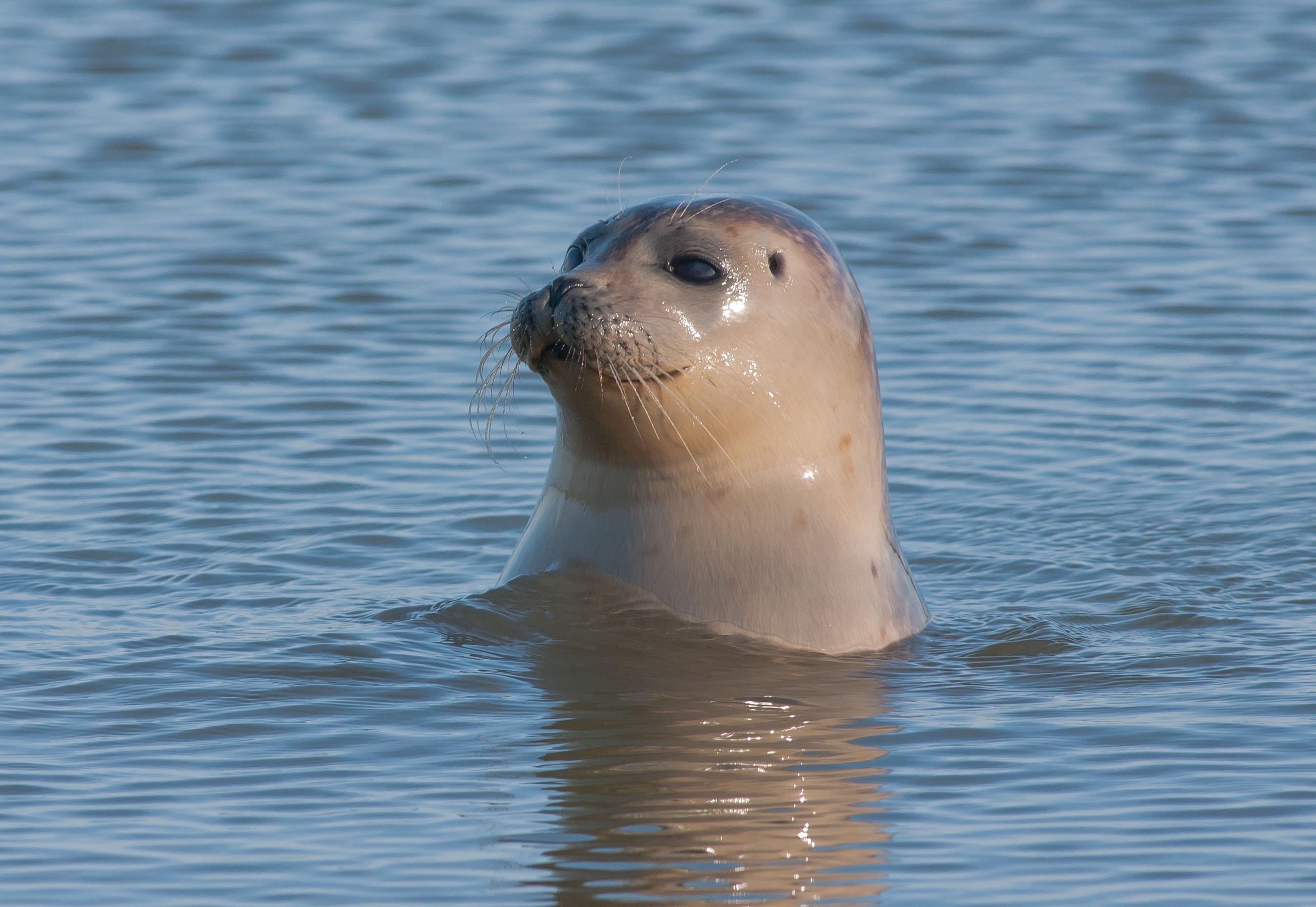 De gewone zeehond in Nederland