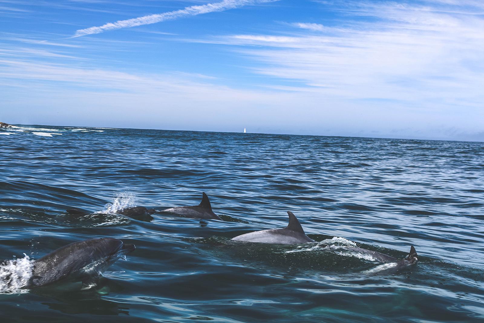 Dolfijnen-Knysna-Zuid-Afrika