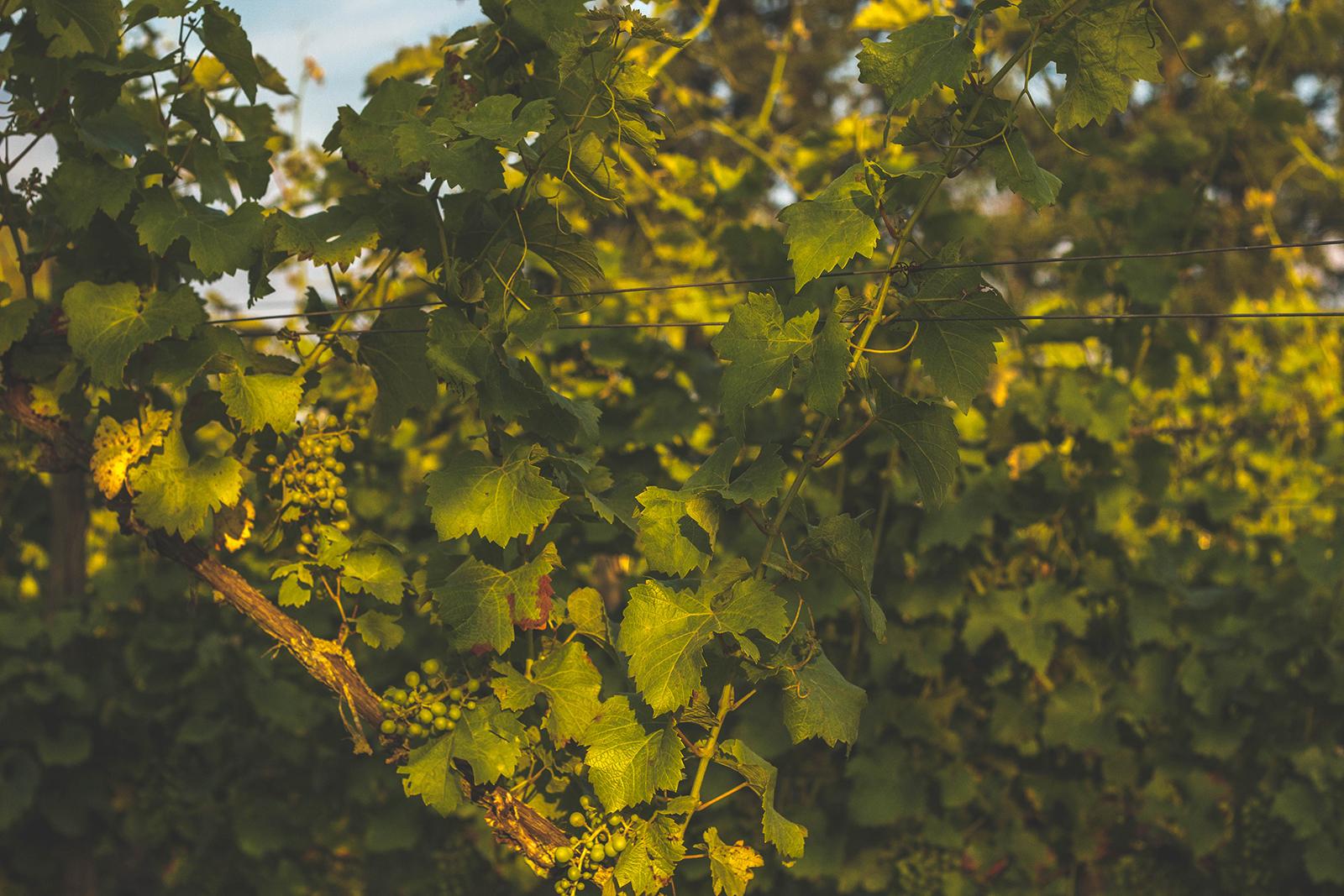 Colonjes Wijngaard Groesbeek Wijngaarddiner